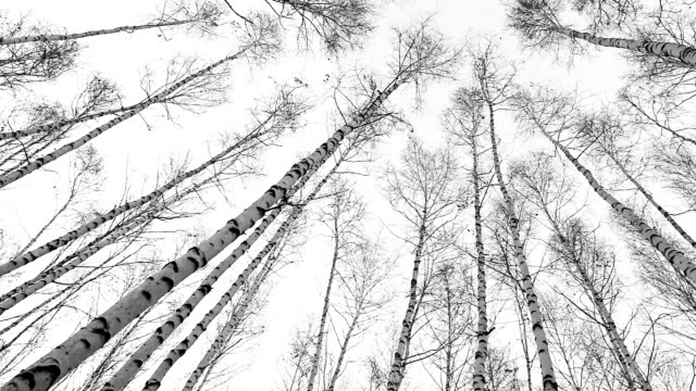Birch tops View : wind moves trunks of russian trees video