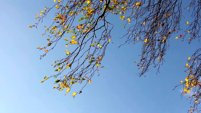 Birch tree branches against  sky video