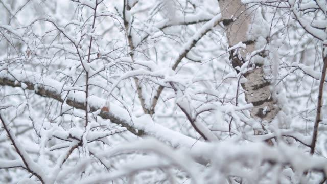 rami di betulla sotto la neve - albero spoglio video stock e b–roll