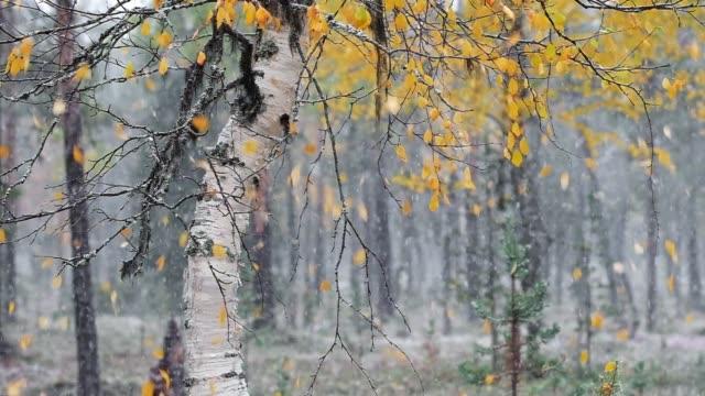 birke im wald mit fallenden gelben herbstblättern bei starkem schneefall - laub winter stock-videos und b-roll-filmmaterial