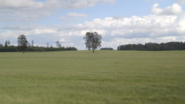 A birch tree in the middle of the field video