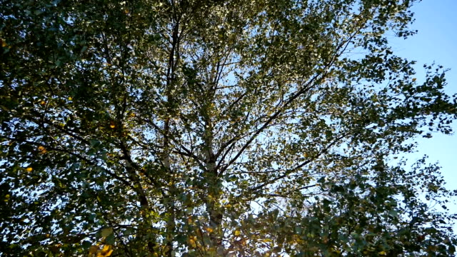 Birch tree leaves shaking in the wind, pan down, Pyrenees, Spain video