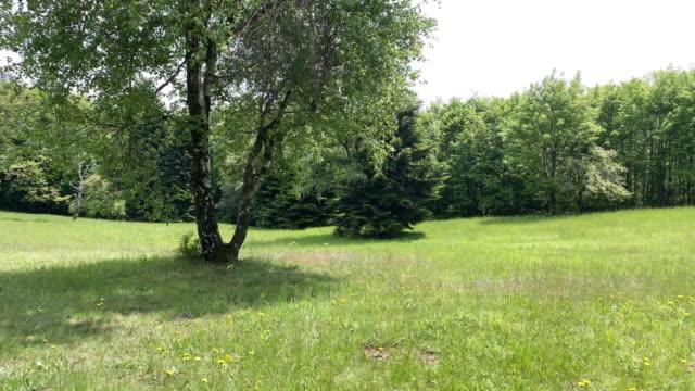 vídeos de stock, filmes e b-roll de árvore de bétula no prado - bétula