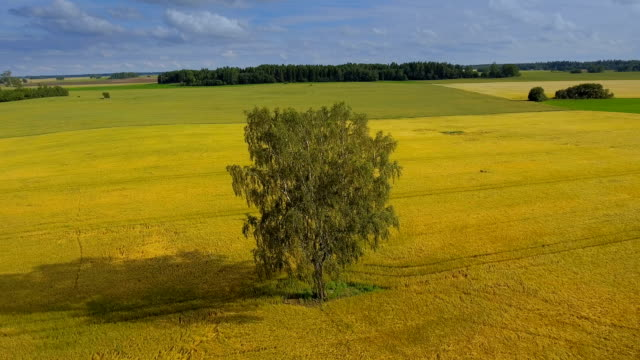 A birch tree on the middle of the cereal field video