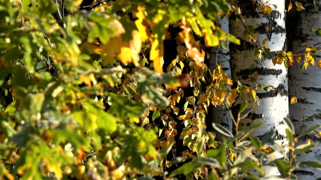 birch tree trunk and colorful autumn leaves with first frost. Focus change. video