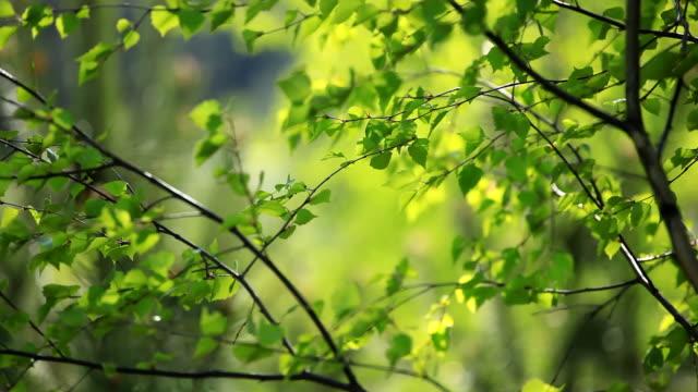 birch tree - gren plantdel bildbanksvideor och videomaterial från bakom kulisserna