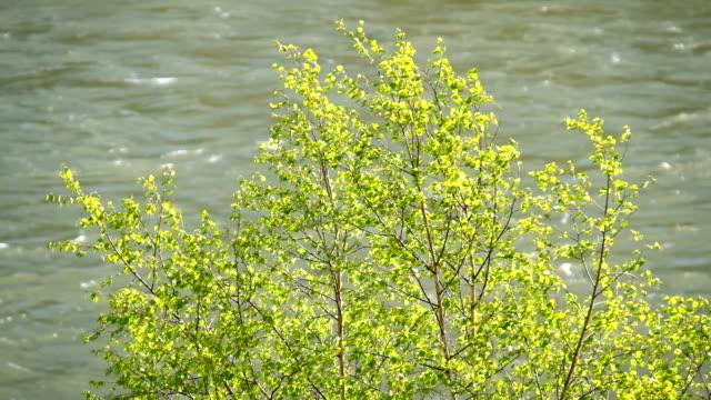 春の白樺葉アルタイ川カトゥンの背景 ビデオ