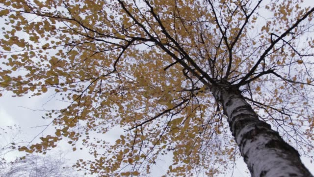 Birch Tree with Yellow Leaves, movement 01 video