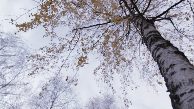 Birch Tree with Yellow Leaves, movement 02 video
