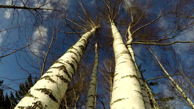 Birch trees against cloudy sky, time lapse video