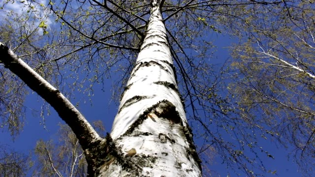 birch trees, blue sky from below view, spring video