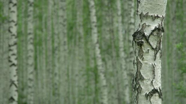 stockvideo's en b-roll-footage met berkenbomen in de zomer - schors