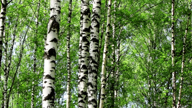 Birch trees tilt video
