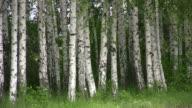 istock Birch. 472726631