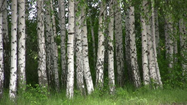 Birch. video