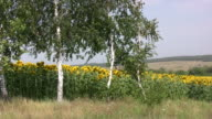 istock Birch. 472751449