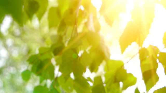 birch young bright leaves in front of day sun. leaves of birch in sunny day with sun blinking. organic or eco concept - light through trees stock videos & royalty-free footage