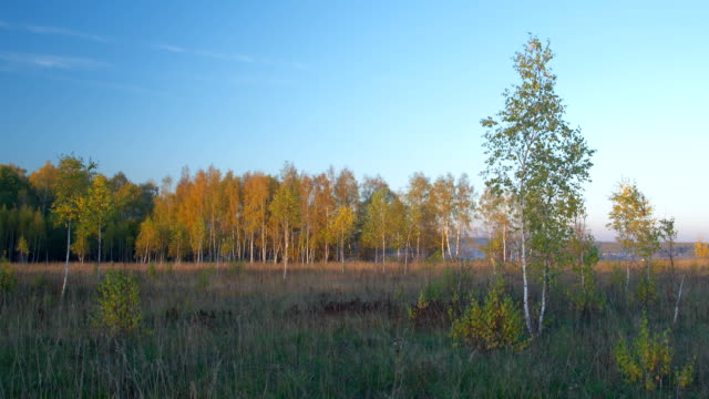 Birches autumn forest panning time-lapse video
