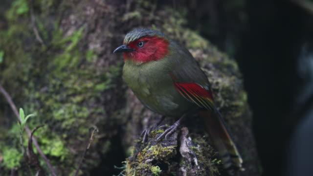 stockvideo's en b-roll-footage met vogel: volwassen scarlet-faced liochichla (liochichla ripponi) - snavel