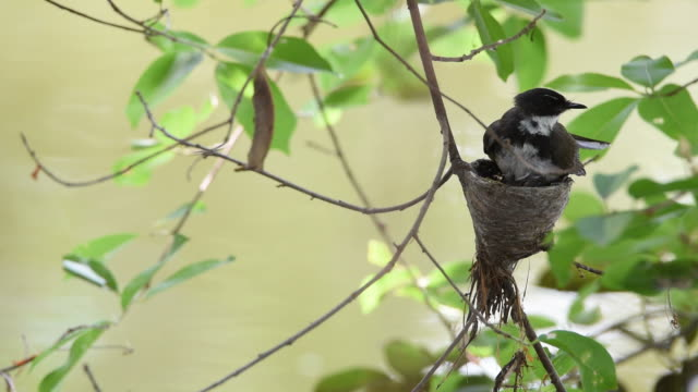 Bird (Pied Fantail Flycatcher) and baby in nest video