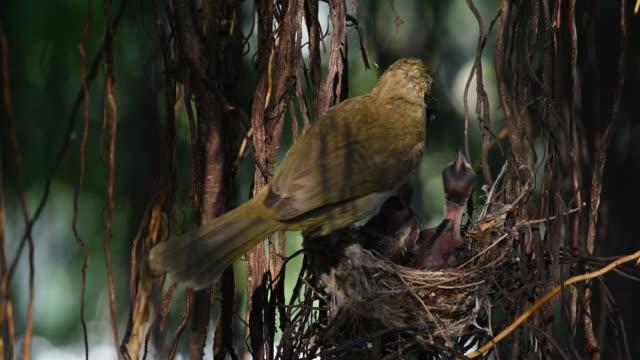 Bird (Streak-eared bulbul) and baby in nest video