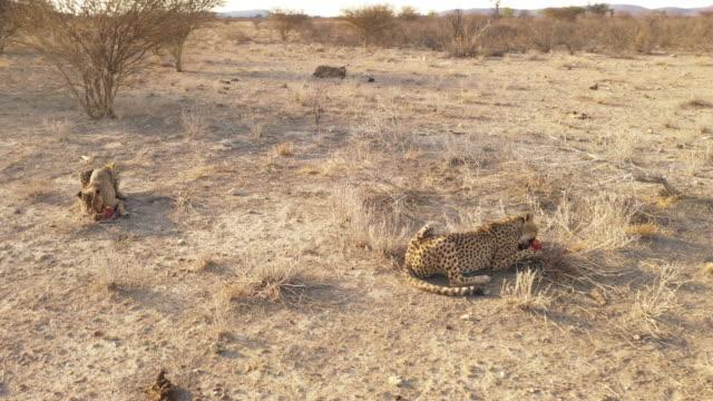 WS Bird and cheetahs in remote desert landscape Namibia, Africa