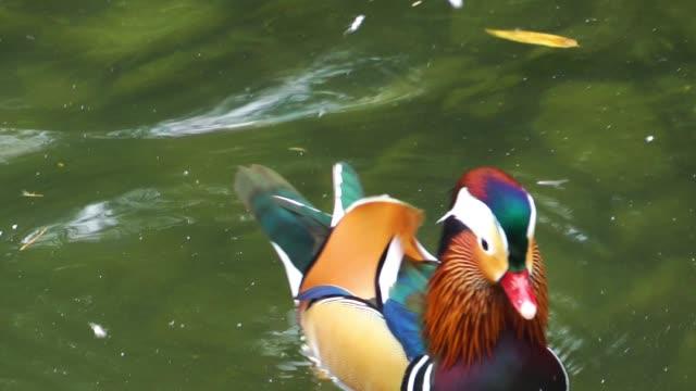 Vogel Tier Ente auf See – Video