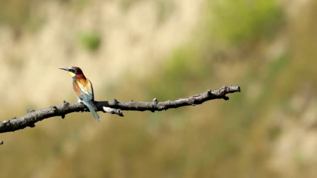 Bird Bee eater eating beetle insect sitting on a branch video