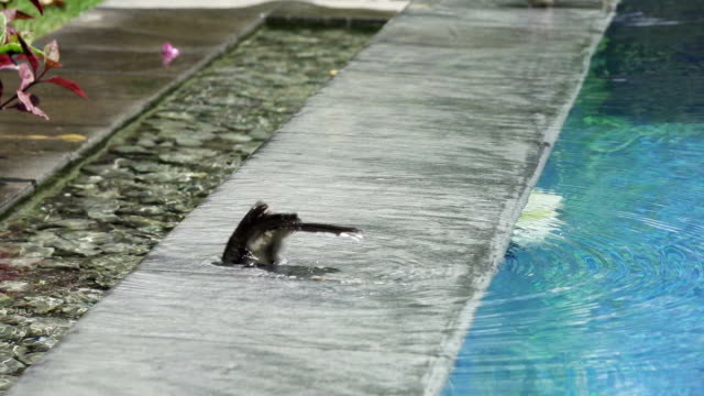 Bird (Pied Fantail Flycatcher, Rhipidura javanica) black color perched swims in the pool, Slow motion video