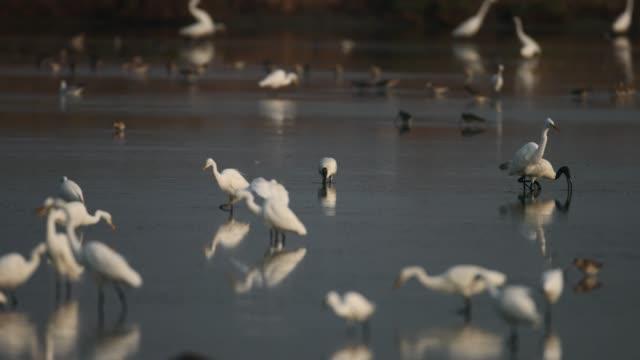 bird : black-headed ibis (threskiornis melanocephalus) - илистая пойма стоковые видео и кадры b-roll