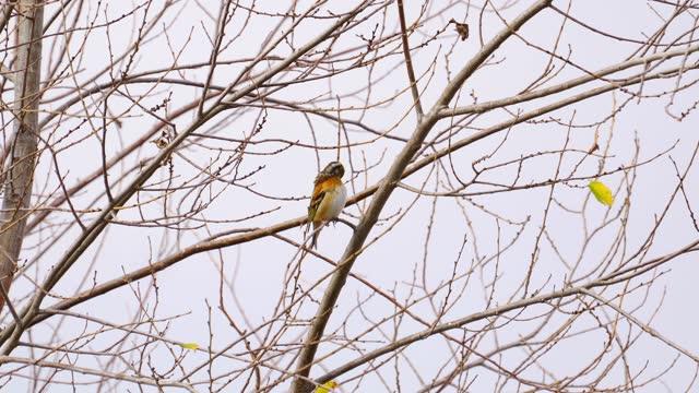 Bird - Brambling ( Fringilla montifringilla ) sits on a bush on a cloudy autumn day.