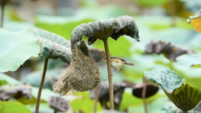 Bird (Plain Prinia) build bird nest in the nature video