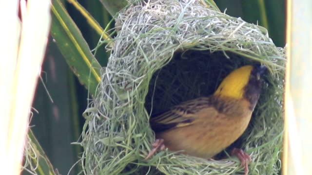 HD: bird build nest on tree video