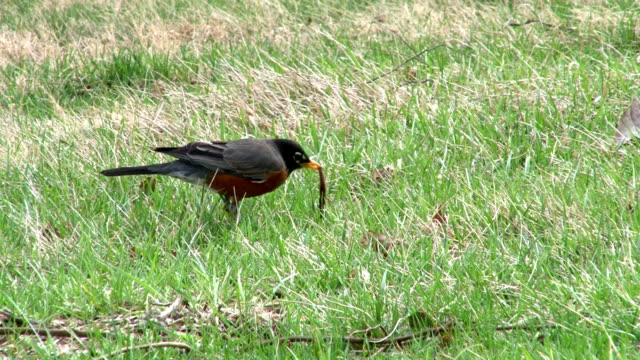 stockvideo's en b-roll-footage met bird catches worm in grass - worm