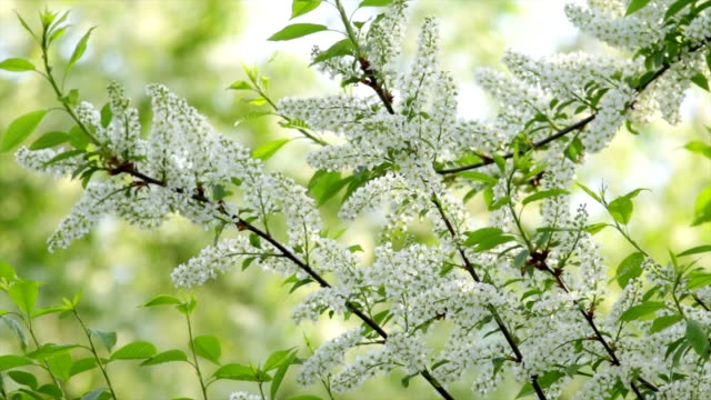 Bird cherry branches with white blossom trusses and new green leaves, trembling in the spring light wind on blur bright green background. video