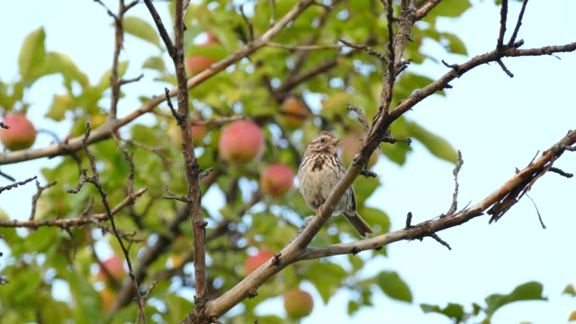 Bird chirping while perched in apple tree in the wind