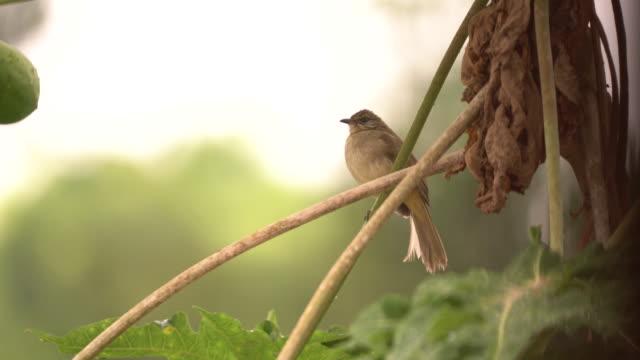 bird coming for papaya fruit - soltanto un animale video stock e b–roll
