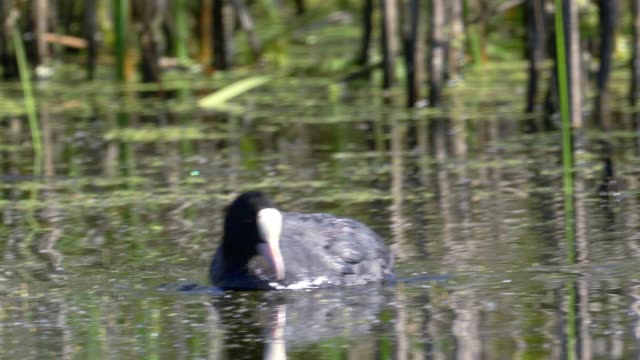 bird - common coot ( fulica atra ) quickly swim on the lake in the early summer morning. - ornitologia video stock e b–roll