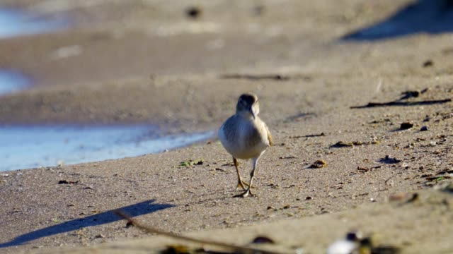 bird - common sandpiper ( actitis hypoleucos ) run along the sandy shore near the water sunny summer morning. - lunghezza video stock e b–roll