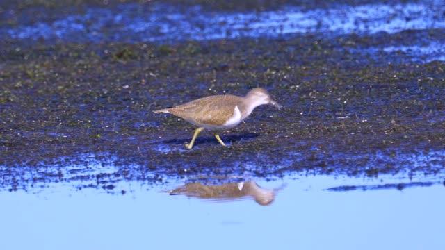 bird - common sandpiper (actitis hypoleucos) walks through the swamp. - group of people filmów i materiałów b-roll