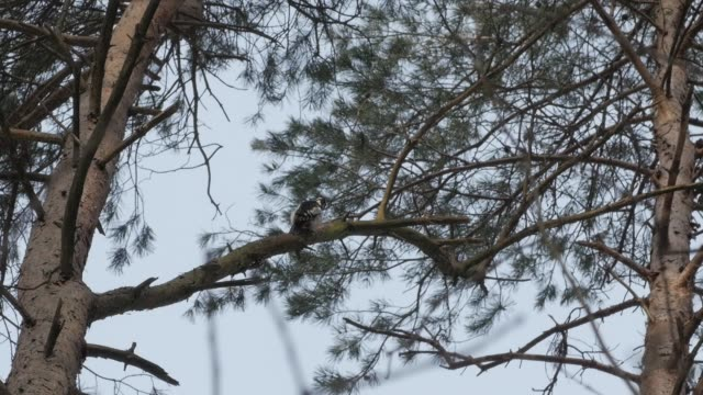 Bird Dendrocoptes, woodpecker perched on tree branch and looking for pests video