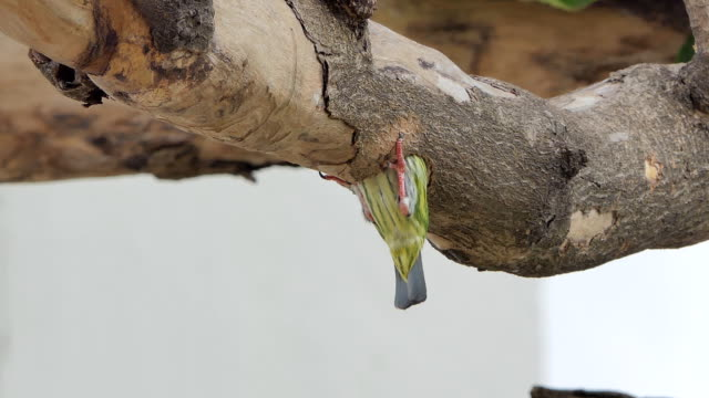 Bird drilling the wood hollow for new nest. video