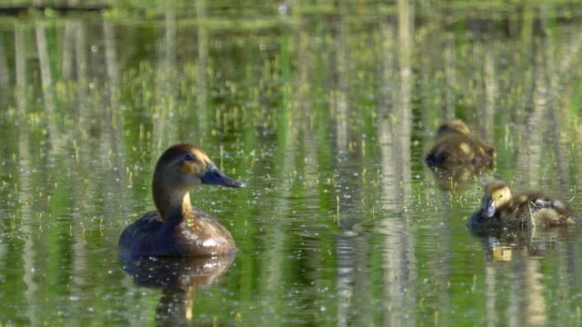 Bird duck - female Common Pochard ( Aythya ferina ) and ducklings swim on the lake in the early summer morning.