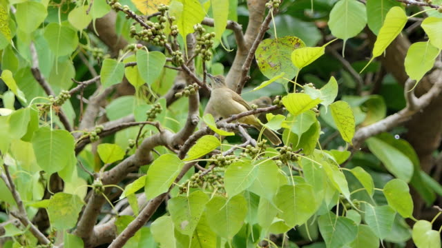 Bird eating fruit on branch. Bird eating fruit on branch in tropical rain forest. animal body stock videos & royalty-free footage