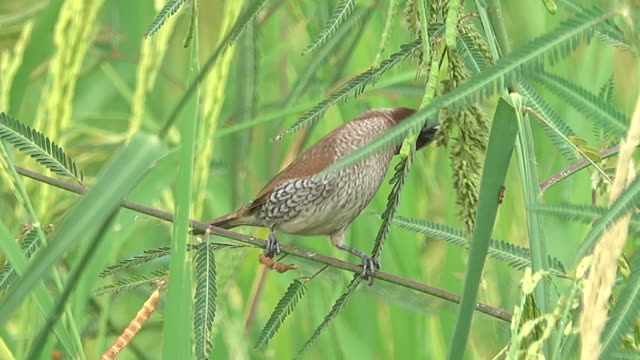 Bird eating rice in rice field