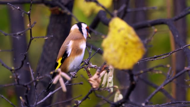 Bird - European Goldfinch ( Carduelis carduelis ) jumping on branches and looking for food.