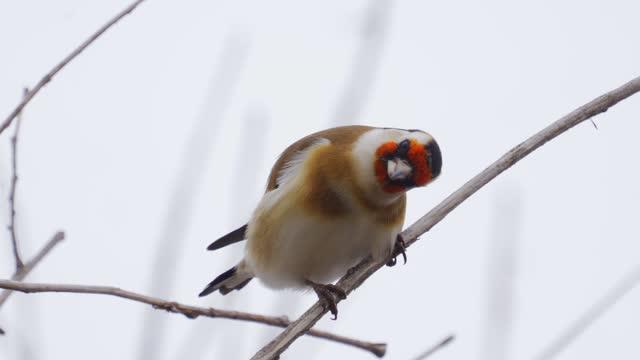 Bird - European Goldfinch ( Carduelis carduelis ) sits on a bush on a cloudy autumn day.