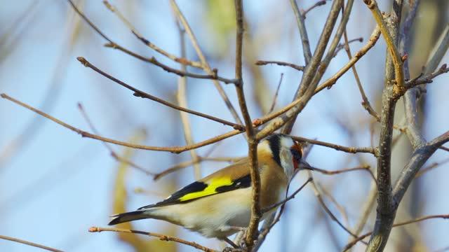Bird - European Goldfinch ( Carduelis carduelis ) sits on a bush on a sunny autumn day.