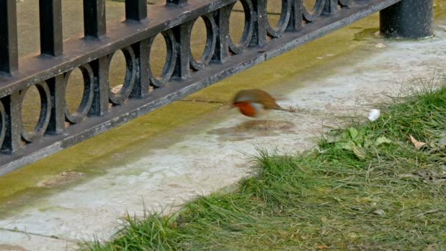 un uccello robin europea e mangiare all'aperto sul bordo della porta - sky diving video stock e b–roll
