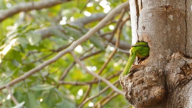 bird feeding chick in burrow on tree. Lineated Barbet bird feeding chick in burrow on tree. animal body stock videos & royalty-free footage